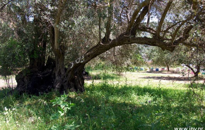 μνημειακό ελαιόδεντρο Βενεράτο