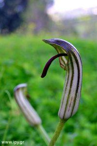 φυτό Σκυλάκι Arisarum vulgare