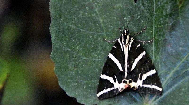 Δείτε και διαβάστε για τις πεταλούδες της Πάρου!